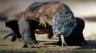 Drachenabenteuer Komodo